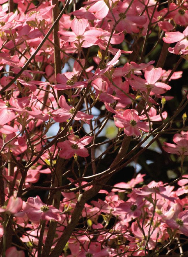 Garden gets a shock of pink color