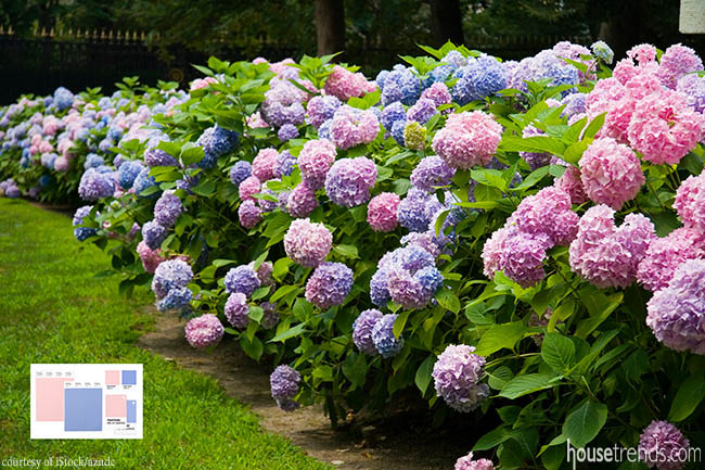 Color of the year calls Hydrangeas to mind