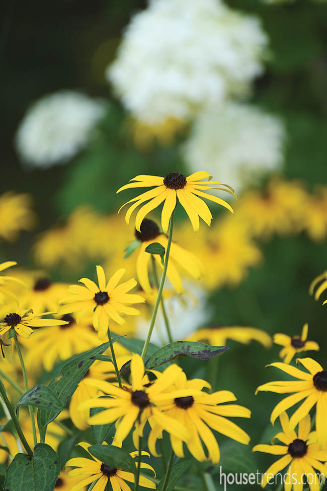 Black-eyed Susans add cheer to landscaping beds