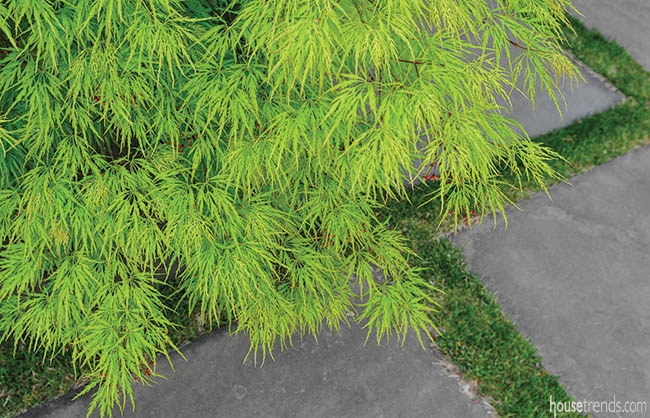 Japanese maple adds color to a walkway